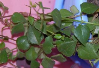 Церопегия Барклея (Ceropegia barklyi)