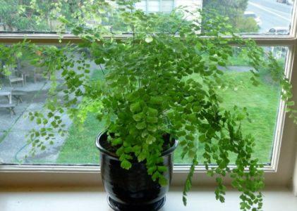 Адиантум — разновидности, уход, проблемы выращивания