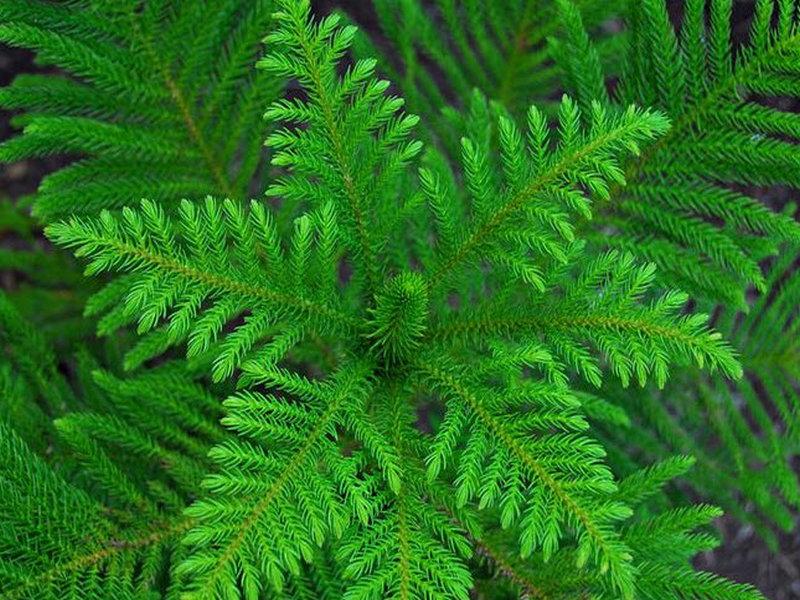 Хвойное растение араукария