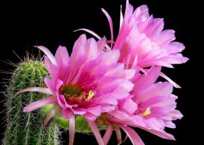 Все секреты выращивания кактуса эхинопсис