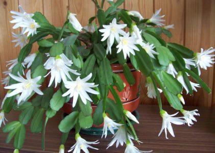 Рипсалидопсис: пасхальный кактус в домашнем цветнике