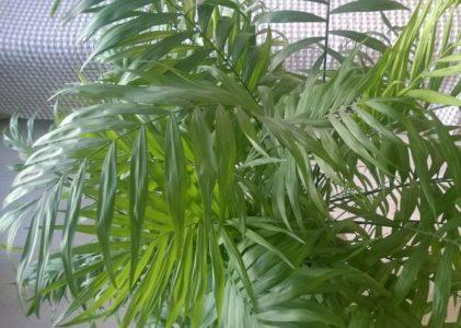 Декоративная пальма хризалидокарпус желтоватый