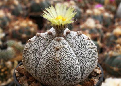 Все тонкости выращивания кактуса астрофитум