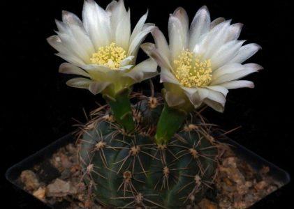Особенности выращивания кактуса гимнокалициума