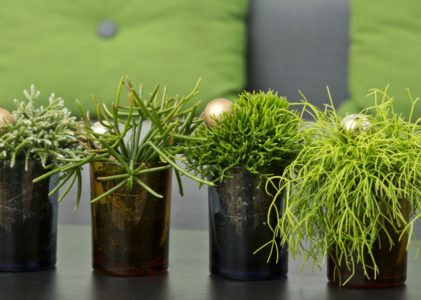 Тропический древесный кактус рипсалис и секреты его выращивания в комнате