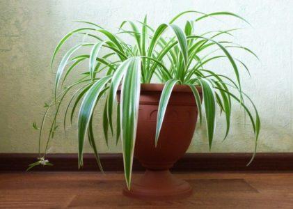 Правильный уход за хлорофитумом в условиях квартиры