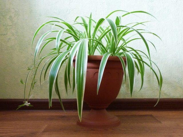 Комнатное растение хлорофитум