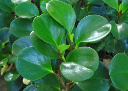 Комнатное растение пеперомия
