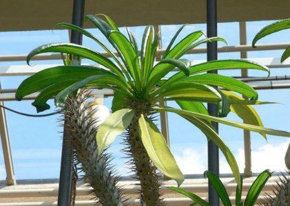Пахиподиум – мадагаскарская пальма у вас дома