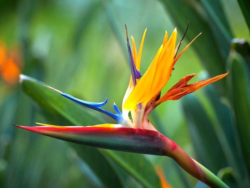 Комнатное растение стрелиция