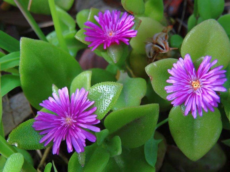 Комнатное растение аптения