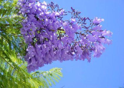 Жакаранда — фиалковое дерево