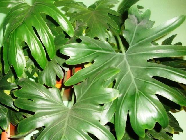 Филодендрон Селло (Philodendron selloum)