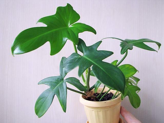 Филодендрон гитаровидный (Philodendron panduriforme)