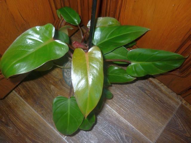 Филодендрон краснеющий (Philodendron erubescens)