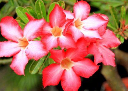 Адениум — прекрасная «пустынная роза»