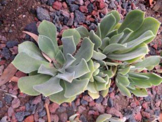 Эониум виргинский (Aeonium virgineum)
