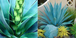 Агава голубая, или текильная (лат. Agave tequilana)
