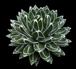 Агава королевы Виктории (лат. Agave victoriae-reginae)