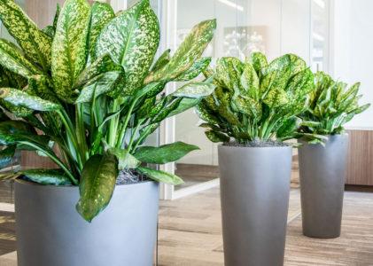 Неприхотливое комнатное растение аглаонема