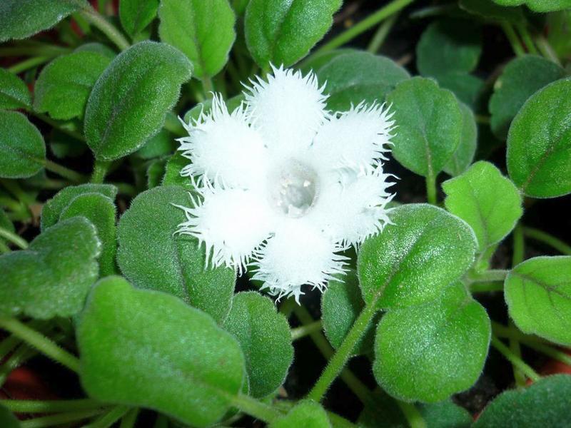 Альсобия гвоздикоцветковая (Alsobia dianthiflora)