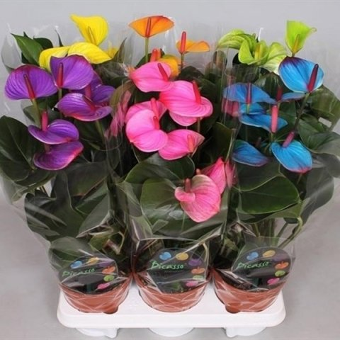 Антуриум Андре микс (Anthurium andraeanum)
