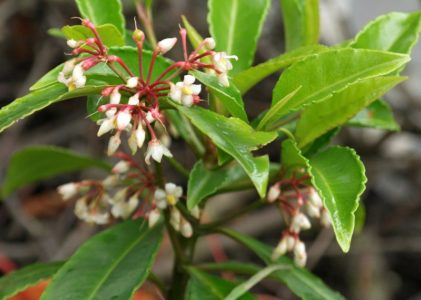 Ардизия — тропическая красавица на подоконнике