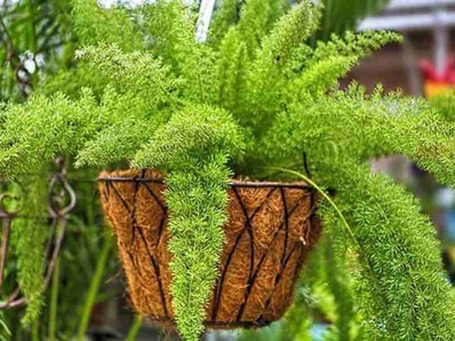 Аспарагус Мейера (Asparagus meyeri)