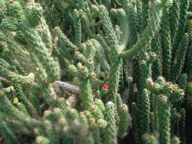 Аустроцилиндропунция цилиндрическая (Austrocylindropuntia cylindrica)