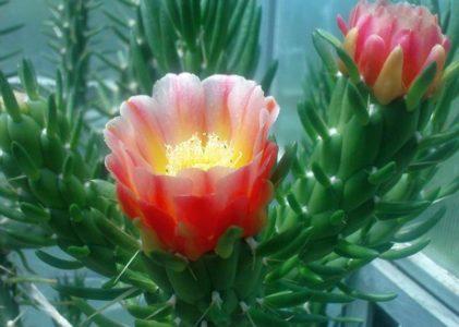 Особенности выращивания и цветения кактуса аустроцилиндропунция