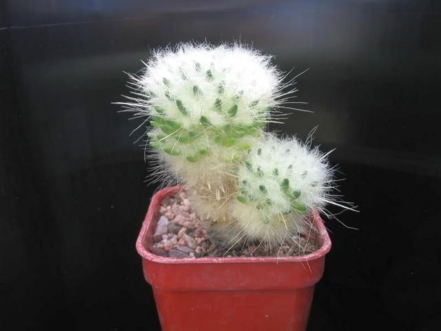 Аустроцилиндропунция одетая (Austrocylindropuntia-vestita)