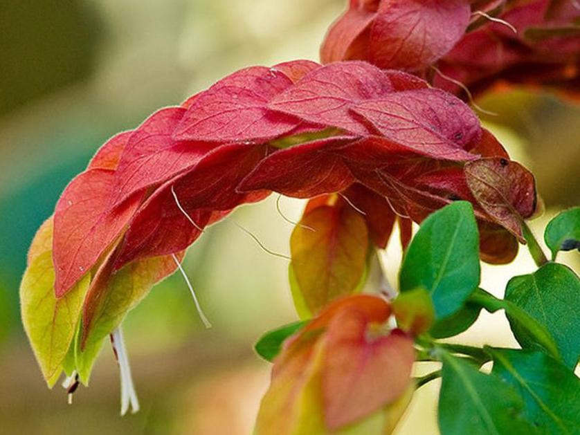 Белопероне — цветение круглый год