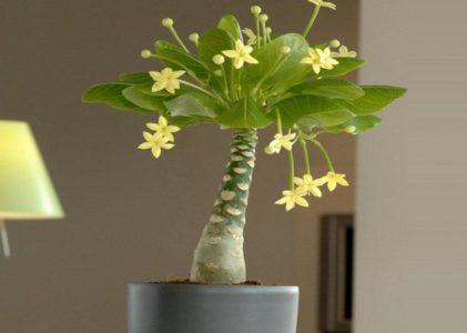Бригамия — экзотическое растение с Гавайских островов