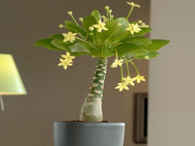 Бригамия замечательная (Brighamia insignis)