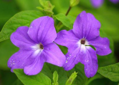Броваллия у вас дома – лиловый шар из маленького семечка