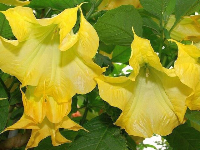 Бругмансия золотистая, или желтая (Brugmansia aurea)
