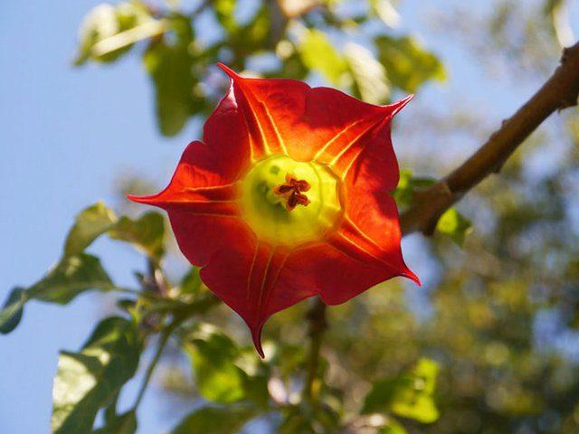 Бругмансия кровавая (Brugmansia sanguinea)