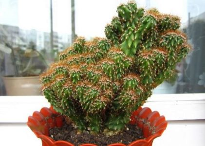 Цереус — кактус со съедобными плодами