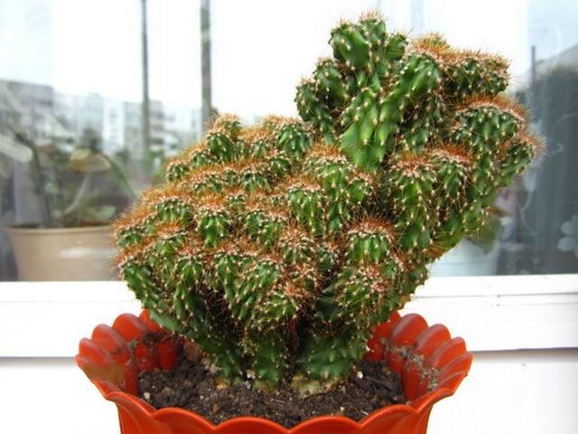 Цереус перуанский (Cereus repandus)