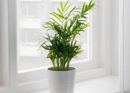 Как ухаживать за хамедореей дома и создать идеальные условия для ее роста
