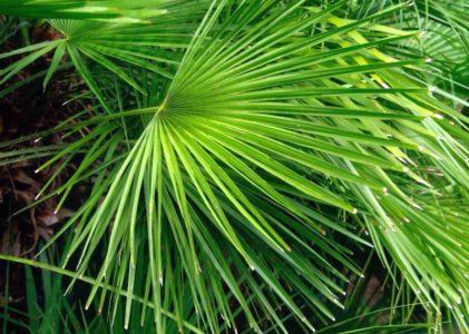 Хамеропс — элегантная комнатная пальма