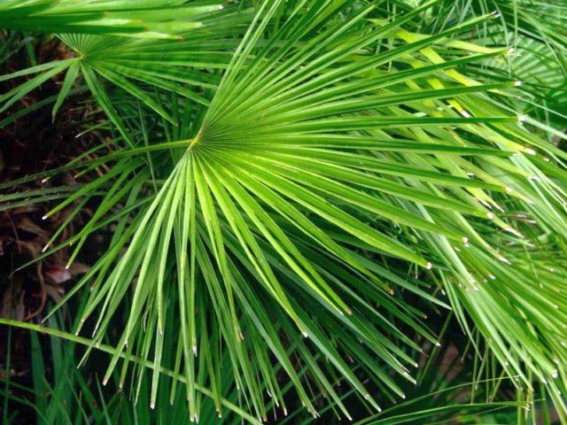 Пальма хамеропс