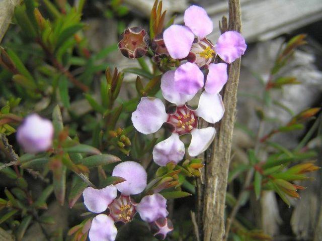 Хамелациум крючковатый (Chamelaucium uncinatum)