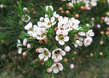 Хамелациум — ёлочка с яблоневым цветом