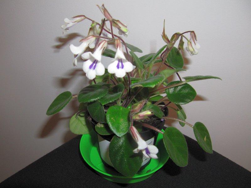 Хирита — близкая родственница узамбарской фиалки
