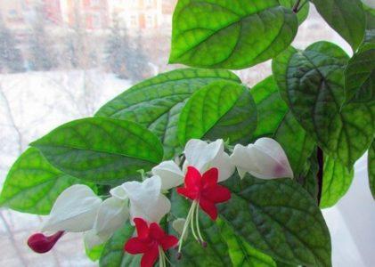 Клеродендрум – тропический гость в вашем доме