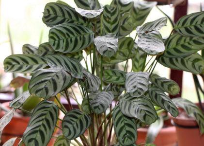Ктенанта — секреты выращивания и декоративности
