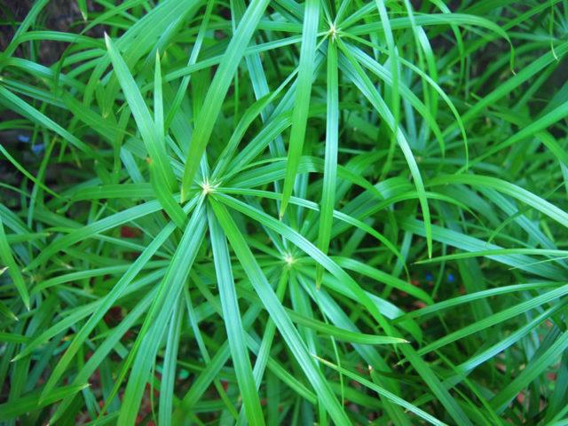 Циперус очереднолистный, или болотный (Cyperus alternifolius)