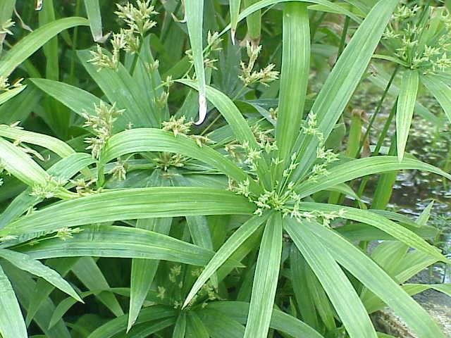 Циперус раскидистый (Cyperus diffusus)