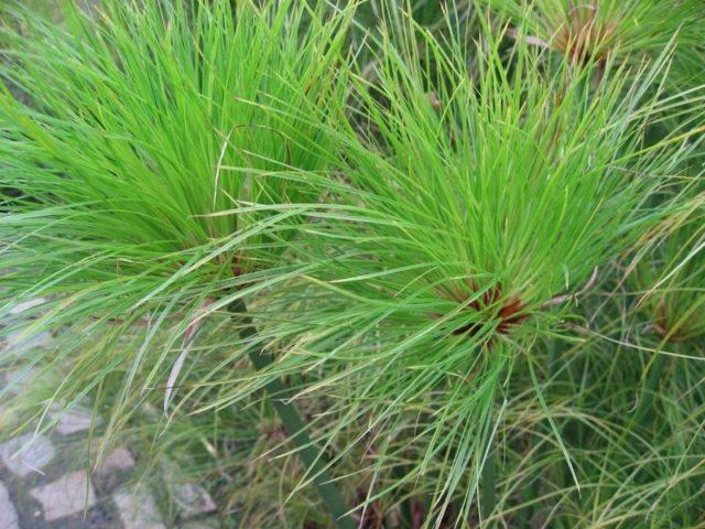 Циперус папирус (Cyperus papyrus)